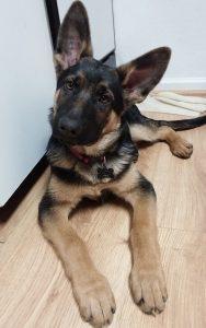 Hawk with big ears and feet
